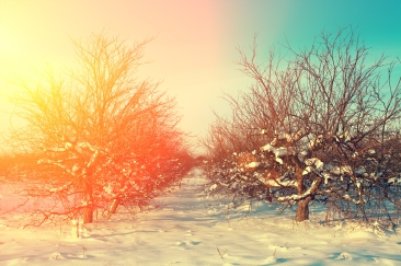 Sunrise over apple orchard in frosty snowy morning